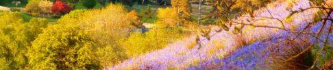 native bluebells cover the hillside
