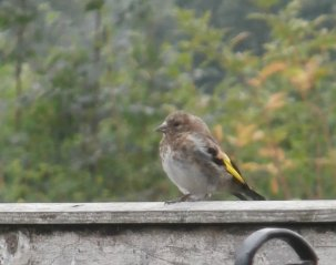 baby goldfinch
