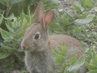 baby wild rabbit