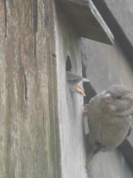 feeding time for baby sparrows