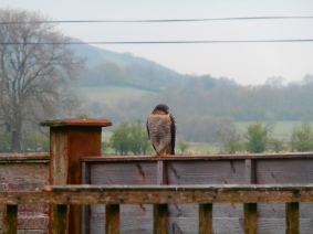 sparow hawk