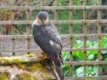 sparrow hawk