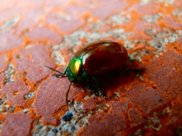 Mint Leaf Beetle