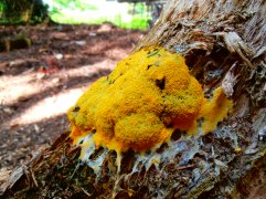 Dogs Vomit Fungus (yes its really called that!)