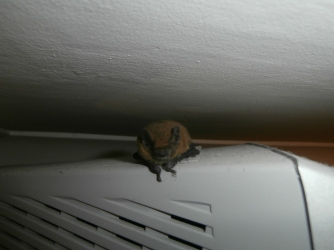 bat - sitting on top of a TV!!! it got lost in the house!