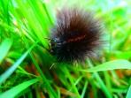 White Ermine Moth Caterpillar