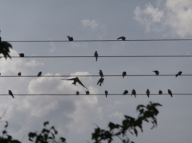 swallows on the wires