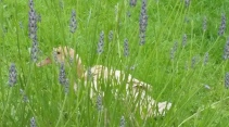spot our duck amongst the lavender