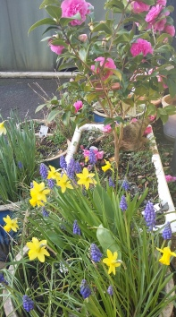 spring narcissus and grape hyacinth